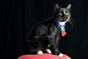 Be Mine on the Main Line benefits beautiful animals like this featured feline, Smudge.  A 10-month old male, Smudge is terribly sweet and loving and he does not shy away from public displays of affection!