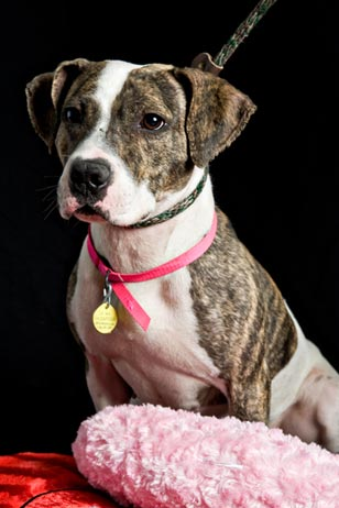 Tigerlilly is a brindle and white two-year old pitbull mix ready for adoption. She is intelligent, inquisitive, and loads of fun!  Tigerlilly's pastimes include long walks, sloppy kisses and the occasional flare for decorating.