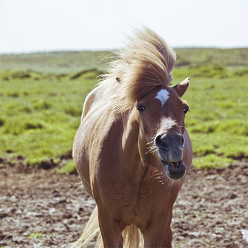 Kicey entitled this photo 'The Comedian.' The Icelandic horse is the descendant of the horses from the Scandinavian countries, Scotland, Ireland and The Isle of Mann.