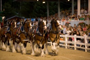 The beloved Budweiser Clydesdales will perform in exhibition the last four evenings of the Devon Horse Show, Wednesday through Saturday, June 2th through June 5th.