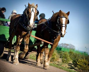 On Mondays thru Saturdays, along with tractor wagons, Varner's Farm will have teams of Belgian Draft horses to take you to cut your own Christmas tree.
