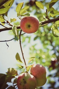 With fall in full swing, AroundMainLine.com has put together the perfect guide for apple picking around the Delaware Valley.