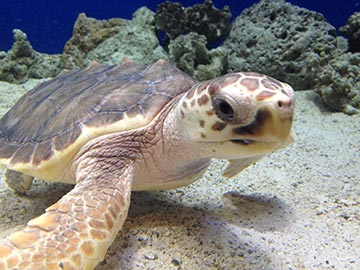 Adventure Aquarium invites you to come out of your shell to experience Turtles: Journey of Survival.  This exhibit showcases an impressive array of land and aquatic turtle and tortoise species from all over the world – and the largest and most diverse collection of turtles ever assembled at the aquarium.