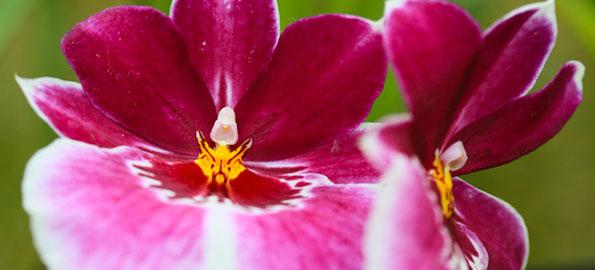 Longwood Gardens' Orchid Extravaganza